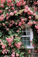 Massachusetts, Nantucket Island, Roses and home Fine-Art Print
