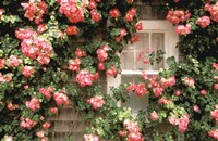 Roses and home, Nantucket Island Fine-Art Print