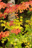 Autumn color, White Mountain Forest, New Hampshire Fine-Art Print