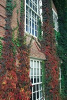 Hanover Ivy on Dartmouth College Building, New Hampshire Fine-Art Print