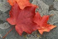 Sugar Maple Foliage in Fall, Rye, New Hampshire Fine-Art Print