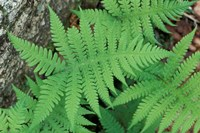 Long Beech Fern, White Mountains National Forest, Waterville Valley, New Hampshire Fine-Art Print