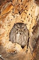 Eastern Screech Owl, Rye, New Hampshire Fine-Art Print
