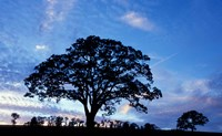 Oak Trees at Sunset on Twin Oaks Farm, Connecticut Fine-Art Print