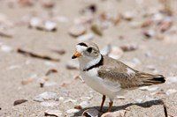 A Piping plover, Long Beach in Stratford, Connecticut Fine-Art Print