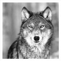 Wolf Fine-Art Print