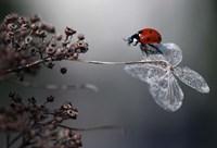 Ladybird On Hydrangea Fine-Art Print