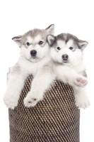 Puppies 18 Fine-Art Print