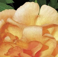 Peach Petals Fine-Art Print