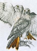 Redtailed Hawk Fine-Art Print