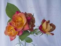 Peachy Rose Fine-Art Print