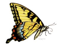 Tiger Swallowtail Butterfly Fine-Art Print