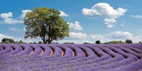 Lavender Field in Provence, France Fine-Art Print