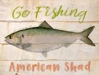American Shad Fine-Art Print