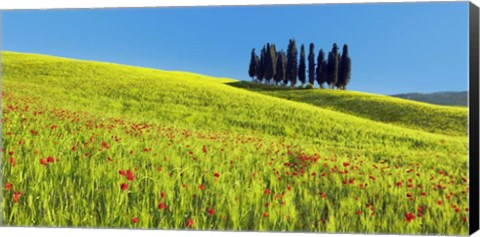 Framed Cypress and Corn Field, Tuscany, Italy Print