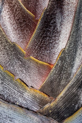 Framed Fan Detail Of Travelers Palm Tree, Maui, Hawaii Print