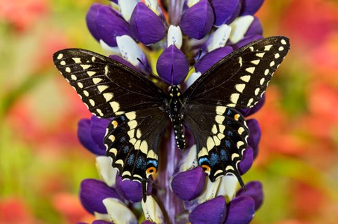 Framed Swallowtail Butterfly, Papilio Polyxenes On Lupine, Bandon, Oregon Print