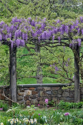 Framed Wisteria In Full Bloom On Trellis Chanticleer Garden, Pennsylvania Print