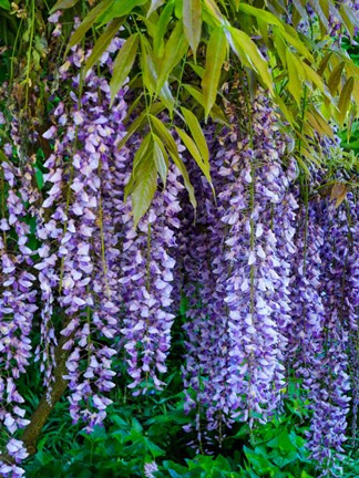 Framed Purple Wisteria Blossoms Hanging From A Trellis Print