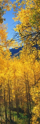 Framed Valley with Aspen trees in autumn, Colorado, USA Print