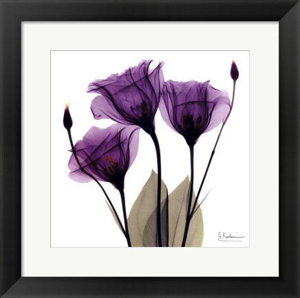 Framed X-ray Royal Purple Gentian Print