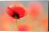 Poppy Dream Fine-Art Print