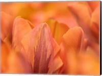Orange Tulips Fine-Art Print