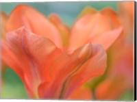Orange Wings Tuilps Fine-Art Print