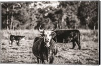 Black & White Steer Fine-Art Print