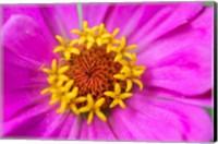 Hot Pink Zinnia Flower Fine-Art Print