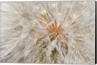 Seedhead Of Yellow Salsify, Eastern Washington Fine-Art Print