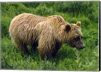 Rain-Soaked Grizzly Bear In Grass, Profile, Denali National Park, Alaska Fine-Art Print