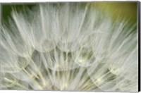Close-Up Of Dandelion Seed, Lockport Prairie Nature Preserve, Illinois Fine-Art Print