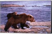 Brown Bear Carrying Cub, Alaska Fine-Art Print