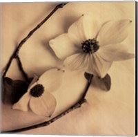 Sepia Dogwoods III Fine-Art Print