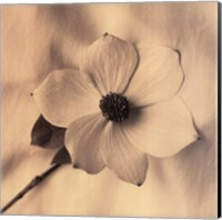 Sepia Dogwoods IV Fine-Art Print