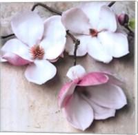 Magnolia Diva II Fine-Art Print