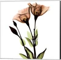 Crystal Flowers X-Ray, Gentian Fine-Art Print