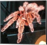 Chilian Fire Hair Tarantula Fine-Art Print