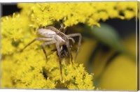 Close-up of a Lynx Spider carrying a bee Fine-Art Print