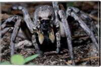 Close-up of a Carolina Wolf Spider Fine-Art Print