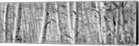 Aspen trees in Winter, Rock Creek Lake, California Fine-Art Print