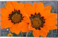 Two orange Spring flowers, South Africa Fine-Art Print