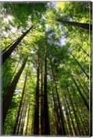 Redwood Forest, Rotorua, New Zealand Fine-Art Print