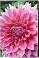Dahlia flower, Butchart Gardens, British Columbia Fine-Art Print