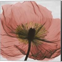Poppy Marsala 2 Fine-Art Print