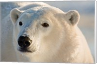 Canada, Manitoba, Hudson Bay, Churchill Polar bear Fine-Art Print