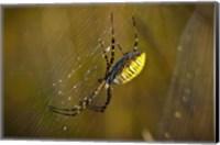 Yellow Spider On The Web Fine-Art Print