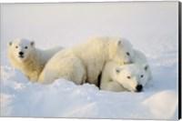 Cubs Playing with Polar Bear Fine-Art Print