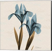 Iris Blue Brown B18 Fine-Art Print